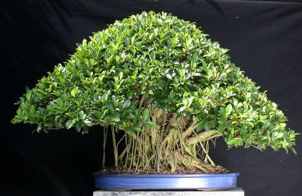 Бонсай из денежного дерева может прекрасно украсит гостиную или офисное помещение