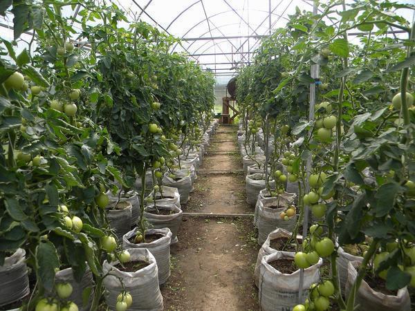 Среднерослые помидоры можно выращивать в теплице любого размера