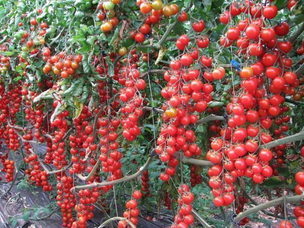 Выбирать томаты Черри для теплиц следует в зависимости от личных вкусовых предпочтений
