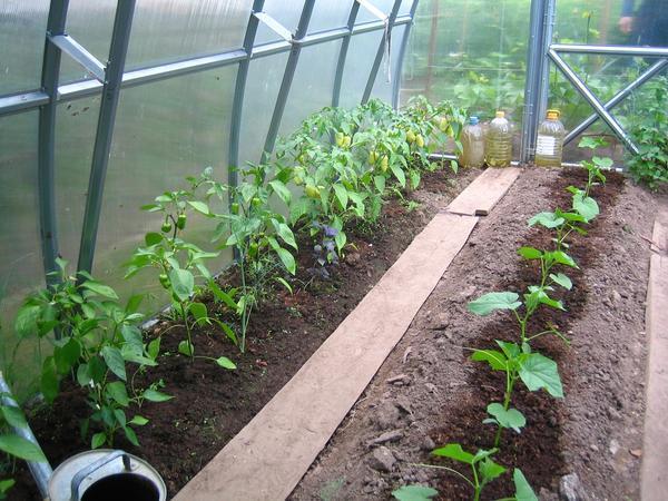 Огурцы и перец рекомендуется высаживать в одной теплице на разных грядках