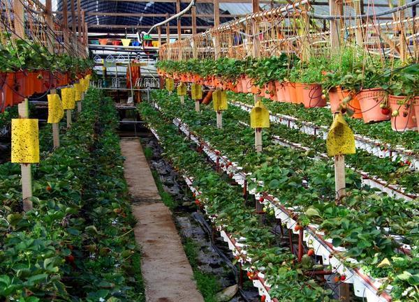 Выращивание в теплицах в зимний период 273