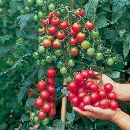 Специалисты предлагают начинать с выращивания гибридов первого поколения