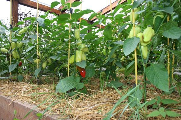 Выращивание перца не требует высоких парников