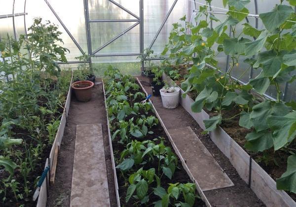 Для выращивания огурцов и перцев подходит один и тот же температурный режим