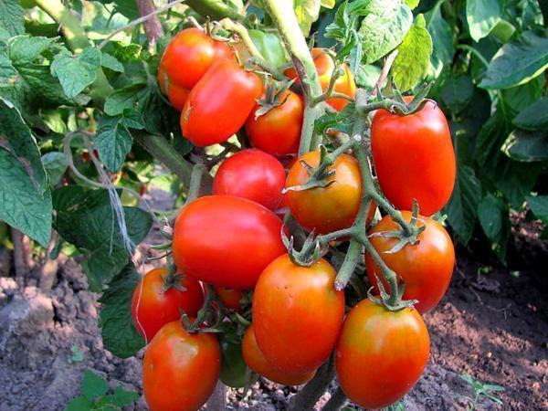 Преимущество низкорослых томатов, не требующих пасынкования, в том, что их не нужно пасынковать