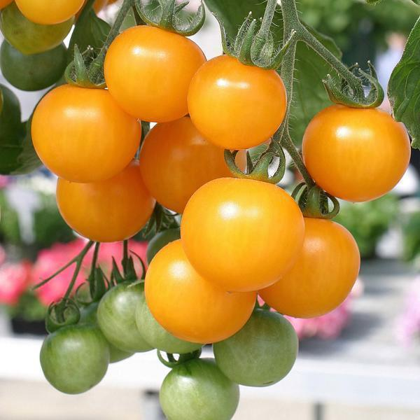 помидоры семена лучшие сорта для теплицы невысокие