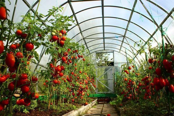 Формирование куста томата в теплице является залогом высокого урожая