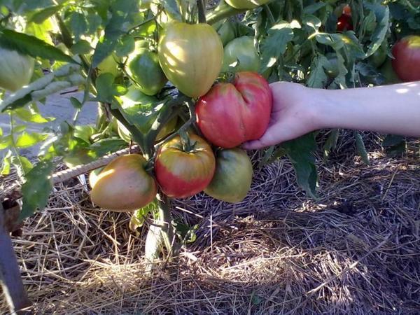 Томаты сибирской селекции обычно имеют очень крупные плоды