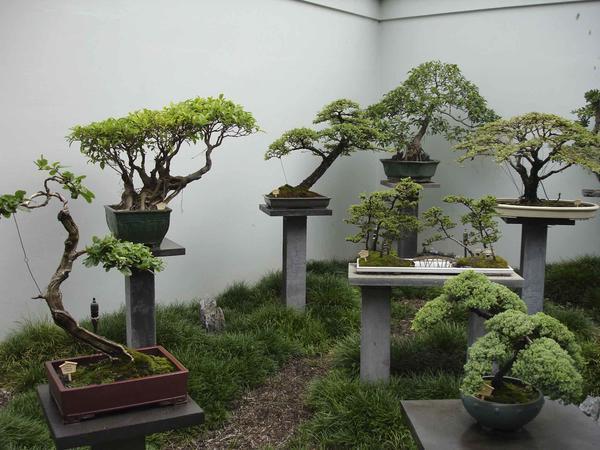 Где растут карликовые деревья