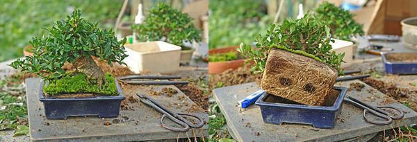 Перед тем как пересадить растение, его не следует поливать. Почва должна быть сухой и легко отделяться от корней