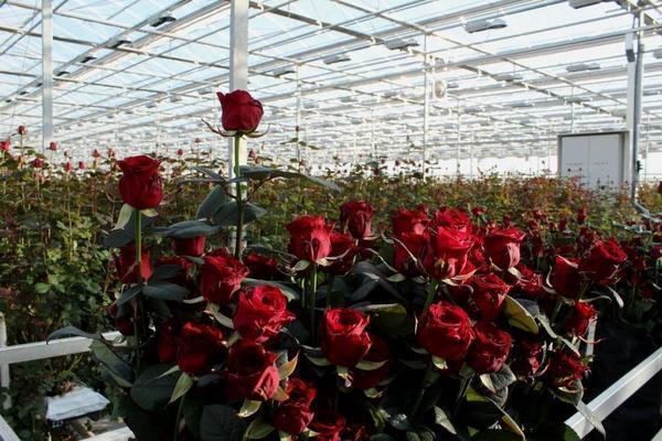 Розы теплица бизнес план бизнес план бизнес в интернете