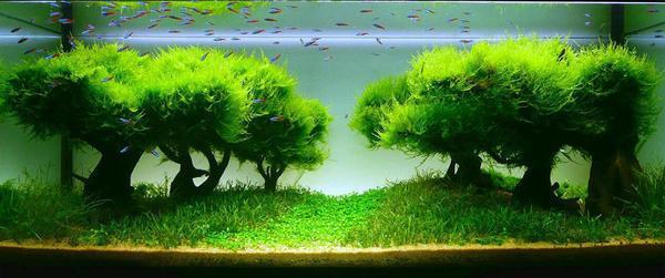 Некоторые разновидности бонсай могут расти в аквариуме