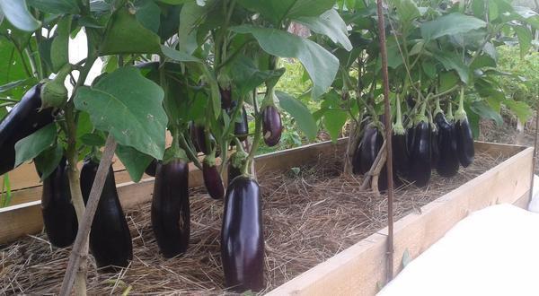 В теплице можно выращивать и другие овощи, к примеру, баклажаны