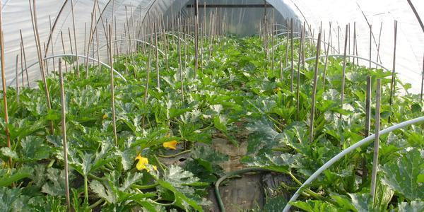Выращивание кабачков в теплице имеет ряд преимуществ