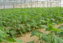 cucumber-1328489