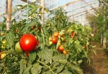 viraschivanie-pomidorov-na-prodaju