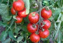 tomaty-na-griadke