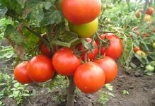20-sortov-nizkoroslyx-tomatov-ne-trebuyushhix-pasynkovaniya-dlya-otkrytogo-grunta