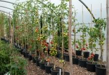 tomatoes-grown-a-scordons-at-victoriana-nursery-in-kent-august-2011
