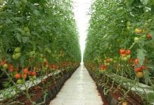 tomatogreenhouse