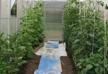 vyraschivanie-ogurtsov-i-pomidorov-v-odnoy-teplits-1024x1024