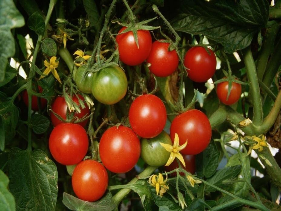 помидоры семена лучшие сорта для теплицы сибири