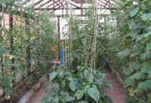 ogurtsyi-pomidoryi-i-perets-v-odnoy-teplitse