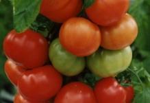 vysokourozhainyi-sort-tomata