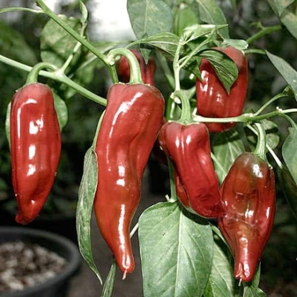 лучшие сорта красного перца для теплицы
