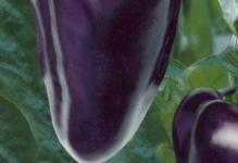 perec-fioletovyj-kardinal-F1
