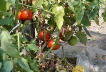 Pomidor-1-1024x680