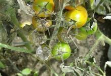 boremsya-s-fitoftoroy-na-pomidorah-dostupnyimi-sredstvami-2