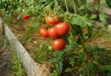 fitoftora-na-pomidorax-kak-borotsya