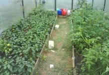 mozhno-li-sadit-ogurcy-percy-i-pomidory-v-odnoj-teplice