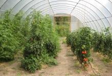 web-green-house-tomatoes