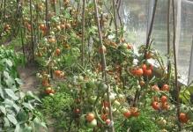 1393096823pomidorka1