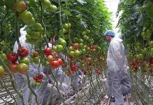 pravilnyj-poliv-pomidor-tomatov-teplice-norma-3