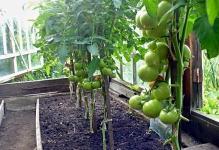 provetrivanie-tomatov