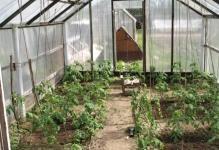 tomat-azhur-5-e1483100629828