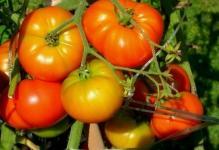 Pasynkovanie-pomidorov-1
