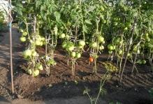 pomidory-v-otkrytom-grunte-1