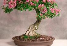 kak-vyirastit-bonsay-v-domashnih-usloviyahoriginal