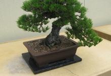 PinusthunbergiiBonsai