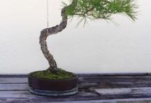 bonsai-de-pino