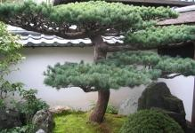 bonsai-tree-traditional-garden-art-in-the-far-east-of-asia