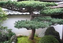 bonsai-tree-traditional-garden-art-in-the-far-east-of-asia