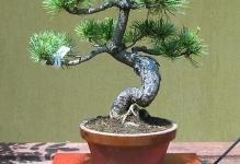 plant-media-bonsai-018