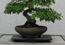 Hawthorn-Bonsai