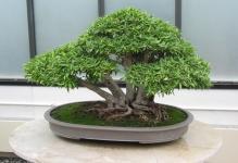 foto-bonsaj-fotografii-sovety-vrediteli-bolezni-forum-komnatnye-rastenija-cvety-12