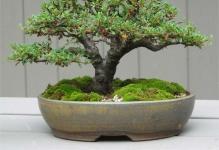 Cotoneaster-Bonsai